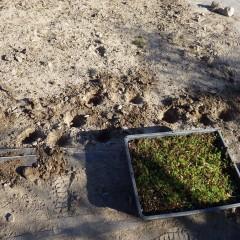 除草した後にトレーで育てた苗を補植しました