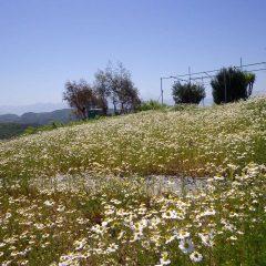 カモマイル・ジャーマンも花が畑一面を覆っています
