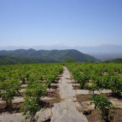 農場は黄砂の影響か富士山が霞んで見えます