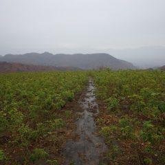 朝からシトシトと雨の降る農場のローズ畑