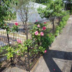 つるバラも開花し始めています
