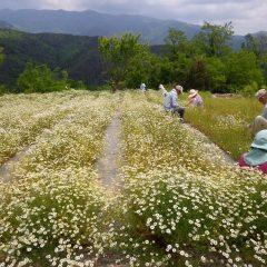 満開になった花畑で花摘み作業が始まりました