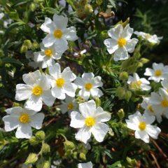 ロックローズの花が満開になりました