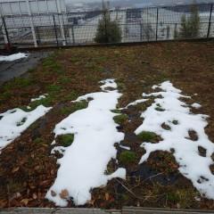 カモマイル・ジャーマン畑にはまだ雪の残る部分もあります