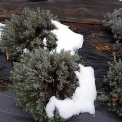ラベンダーも何とか雪の重みに耐えてくれました
