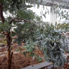 雪の重みで曲がって垂れ下がったユーカリ・グロブルスの枝