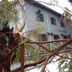 雪の重みで折れたユーカリ・ラディアタの枝