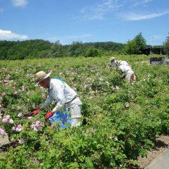 そして今日も早朝7時からローズの花摘み作業は始まっています