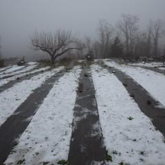 カモマイル・ジャーマン畑はまだ18日に降った雪が解けずに雪を被ったままです