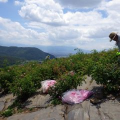 真夏の様な暑さの中で花摘みは続けられています