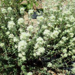 綿帽子のようなタイム・マストキナの花