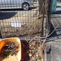 新しく伸びた枝を残して古い枝を切り取ります