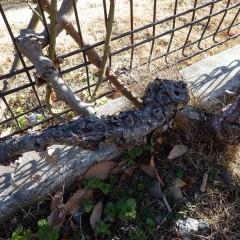 松の幹のように見える木質化した古い枝