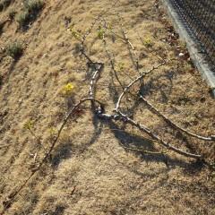 切り取った古い枝
