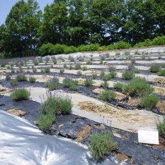 ラベンダー畑がラベンダー色に染まり始めました