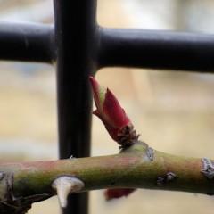 春一番が吹いてつるバラの芽が伸びて来ました