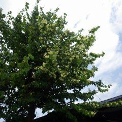 リンデン(西洋菩提樹)が咲き始めました