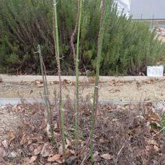 事務局前のローズは枝を長く剪定しているので支柱を立てて完了