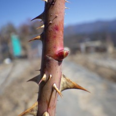 ローズも春の温かさを感じて芽がゆるんできています