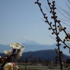 梅の花が咲き始めて春はもうそこまで来ている様です