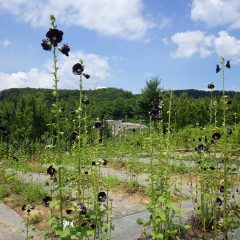 ブラックマロウは今日も花を咲かせ続けています