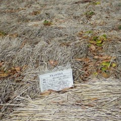 事務局前のブラックマロー畑