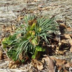 ワラのベットの中で冬を耐え抜きましたが雑草が急に伸び始めました