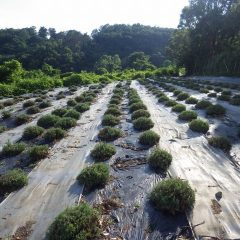 収穫が終わって綺麗に刈り取られたラベンダー畑