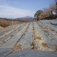 農場のローズ畑