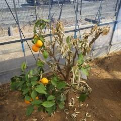 オレンジ・スィートも何とか厳しい冬を乗り切りました