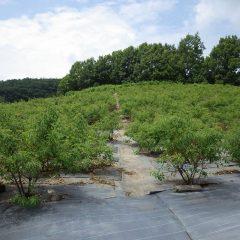 そして今日もローズに埋もれて何処かで除草作業が続けられています