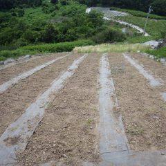 上半分の片付けが終わったカモマイル・ジャーマン畑