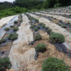 除草の終わったラベンダー畑