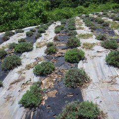 除草作業中のラベンダー畑