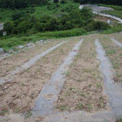 カモマイル・ジャーマン畑の防草シート撤去作業の続き