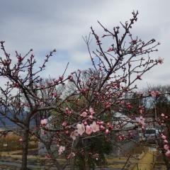 待ちに待ったアーモンドの花が咲き始めました