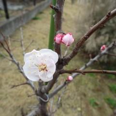 アプリコットの花も開き始めました