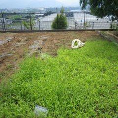 事務局前では雑草に覆われたカモマイル・ローマン畑の除草作業中