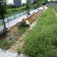 30℃を超える真夏日の中、事務局裏のカモマイル・ローマン畑の除草