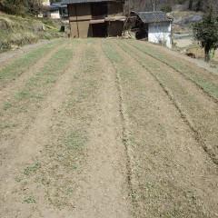 ヨモギ畑も新緑に萌えています