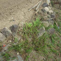 畑の石垣の間に根を張ったススキの除草