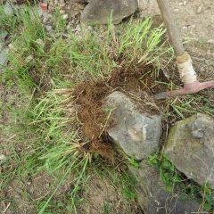 ぎっしりと石の間に根を張ったススキ
