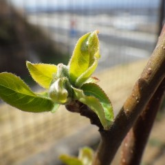 姫リンゴの芽が出て来ました