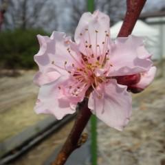事務局前ではネクタリンの花が咲いています