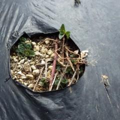 ペパーミントが芽を出しました