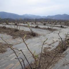 農場のローズは葉を広げ始めました