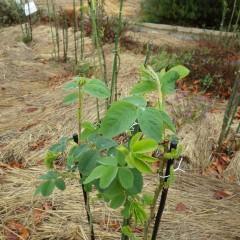 事務局前のローズ・ダマスケナはこんなに葉を広げています