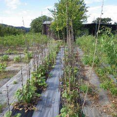ブラックマロウの枯れた花柱