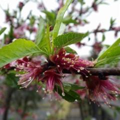 アーモンドはこの雨で花も終わりとなりました