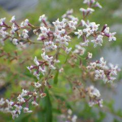 清楚な白い花を咲かせています